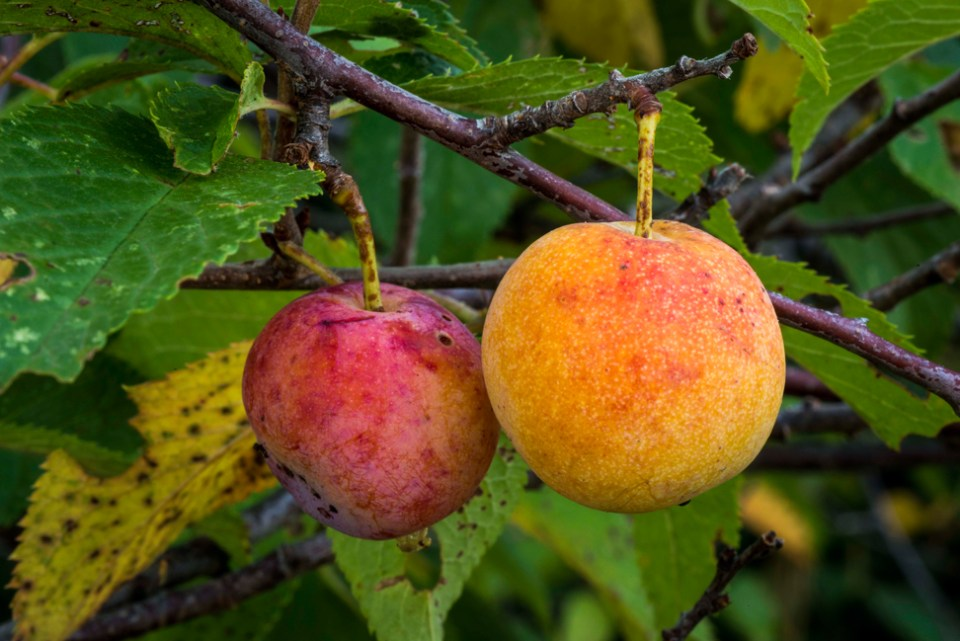 Wild Plums Turning