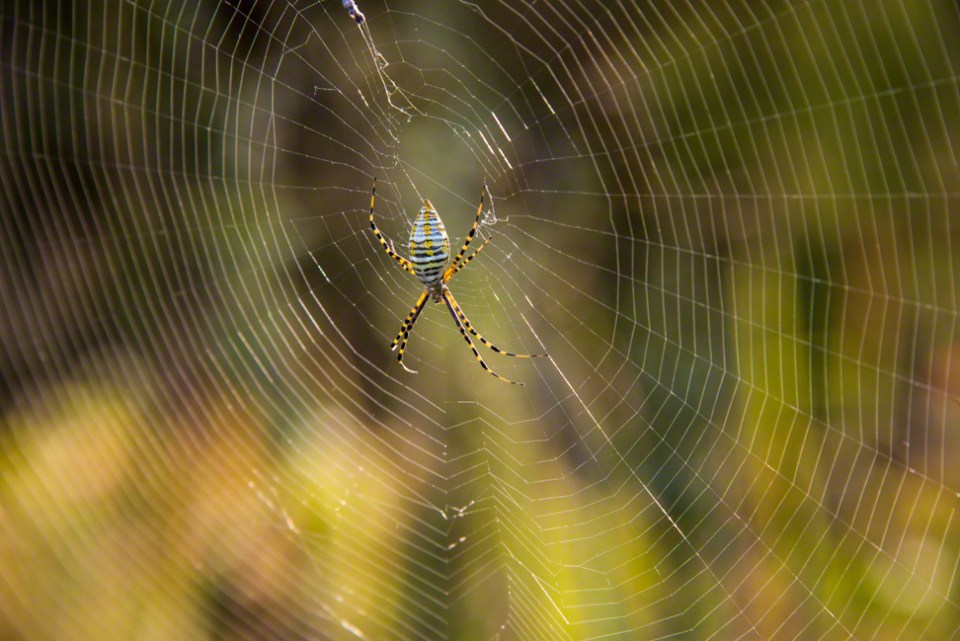 Yellow, Black and White Banded Orb Weaver Spider