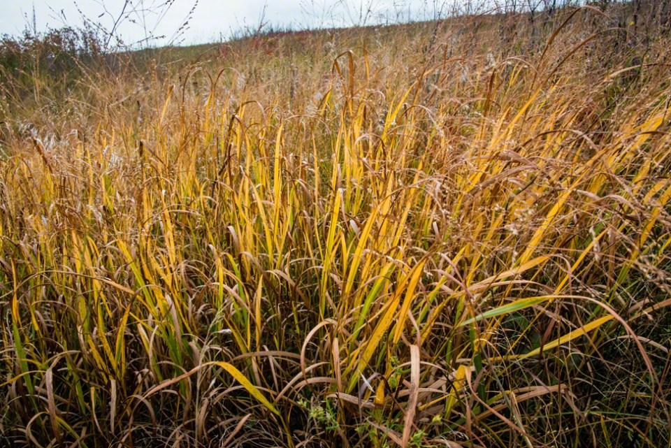 Backlit Grasses Going Gold