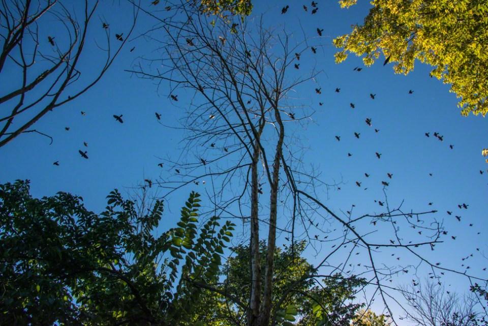 Big Flocks of Blackbirds on the Move