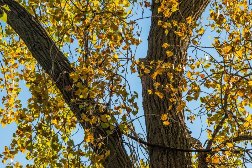 Cottonwood Rhythm - Trunk and Leaves