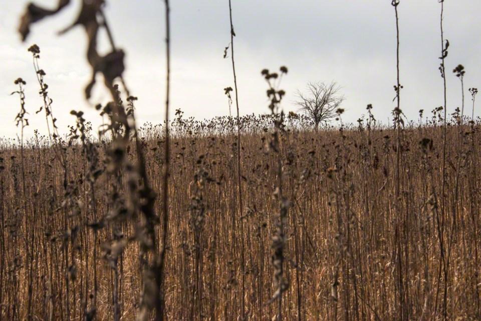 Deep in the Sunflower Stalks