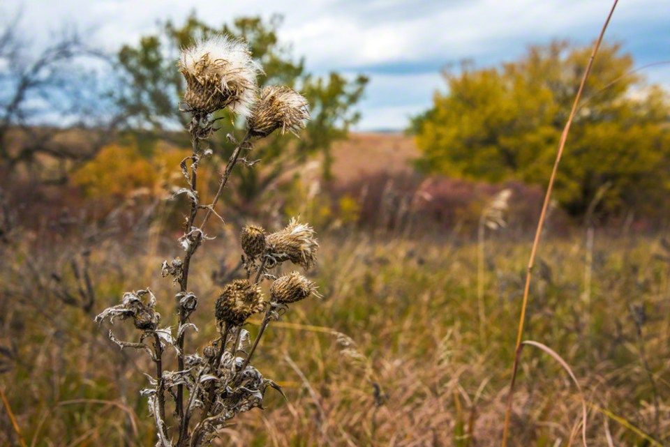 Dried Thistle Heads Dispersing
