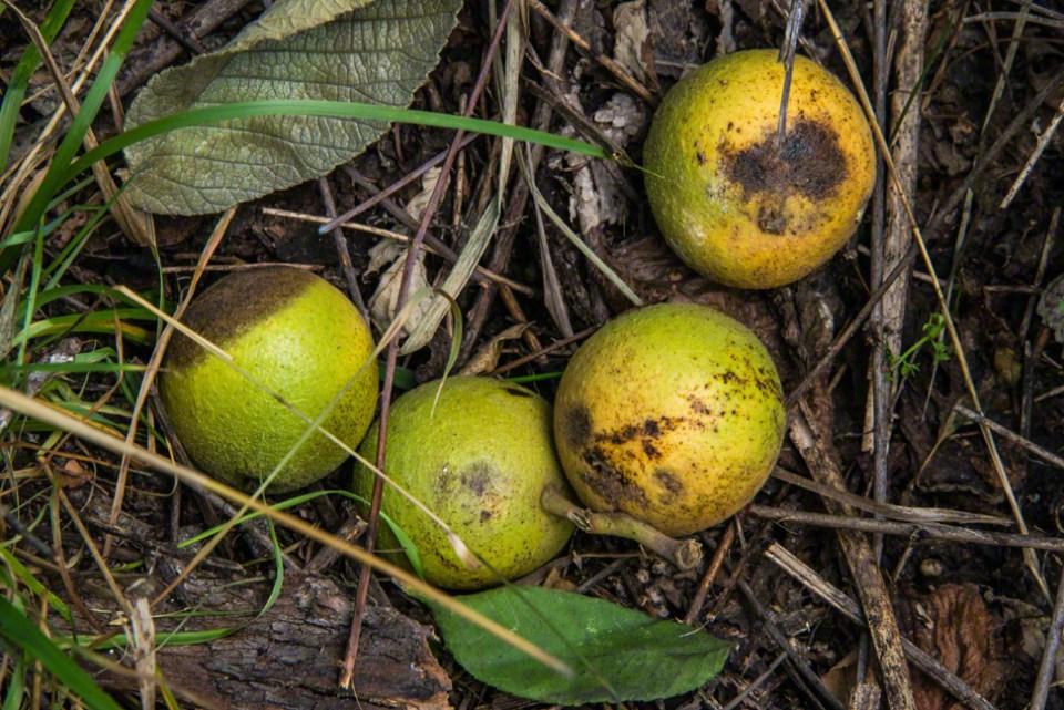 Four Freshly Fallen Walnuts