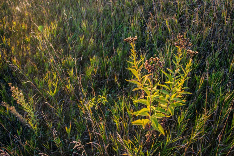 Goldenrod Plant Gone to Seed