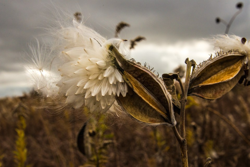 Milkweed Pod and Seedless Fluff