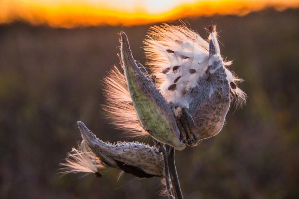 Milkweed Pods Dispersing Seeds at Dawn