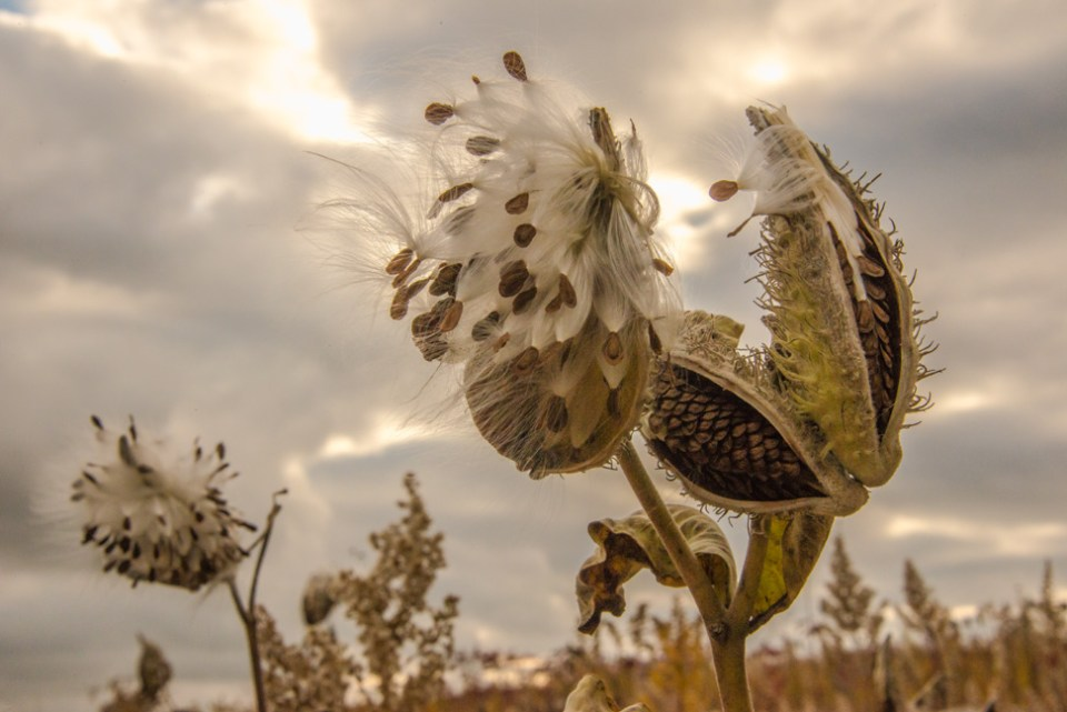 Milkweed Pods and Seedy Fluff
