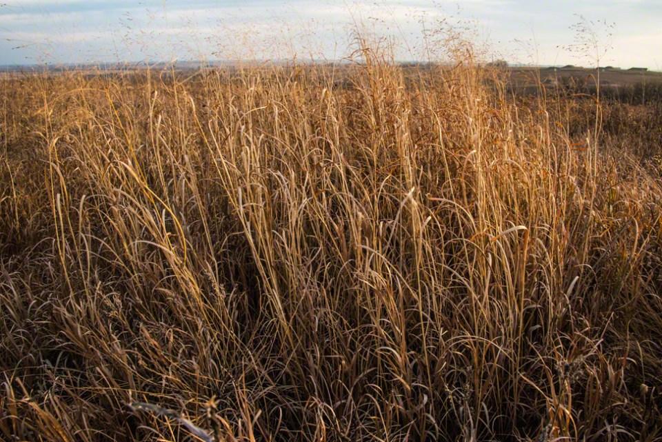 Patch of Tall Grass Still Standing