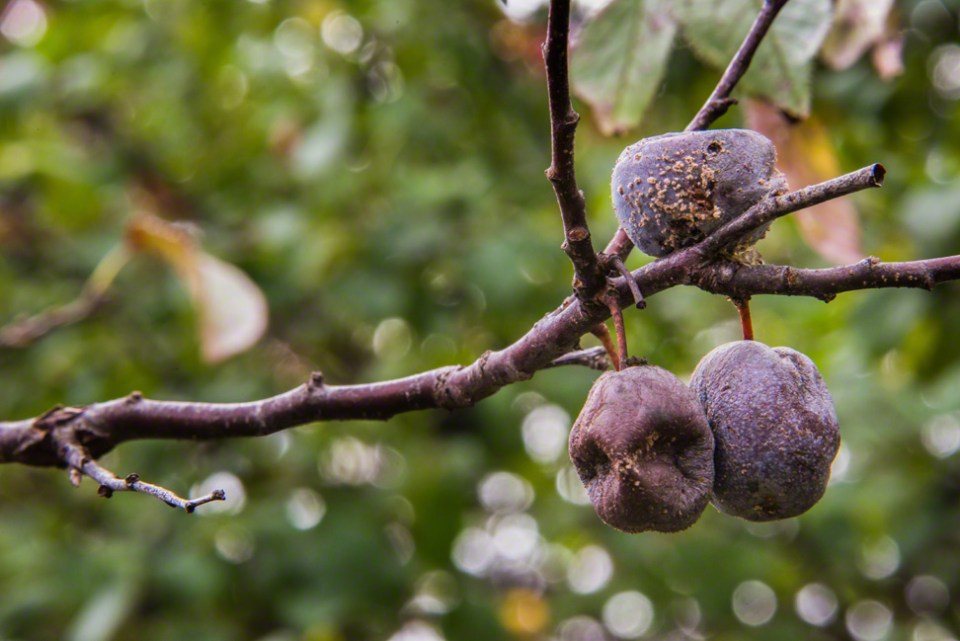 Plums Rotting on the Bush