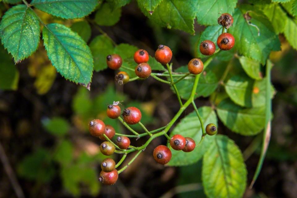 Red Berries CU