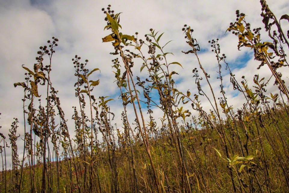 Sunflower Stalks Against a Cloudy October Sky