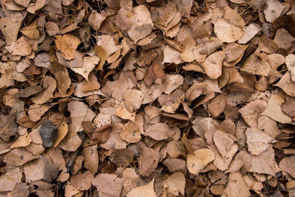 The Floor of the Draw Covered in Brown Cottonwood Leaves