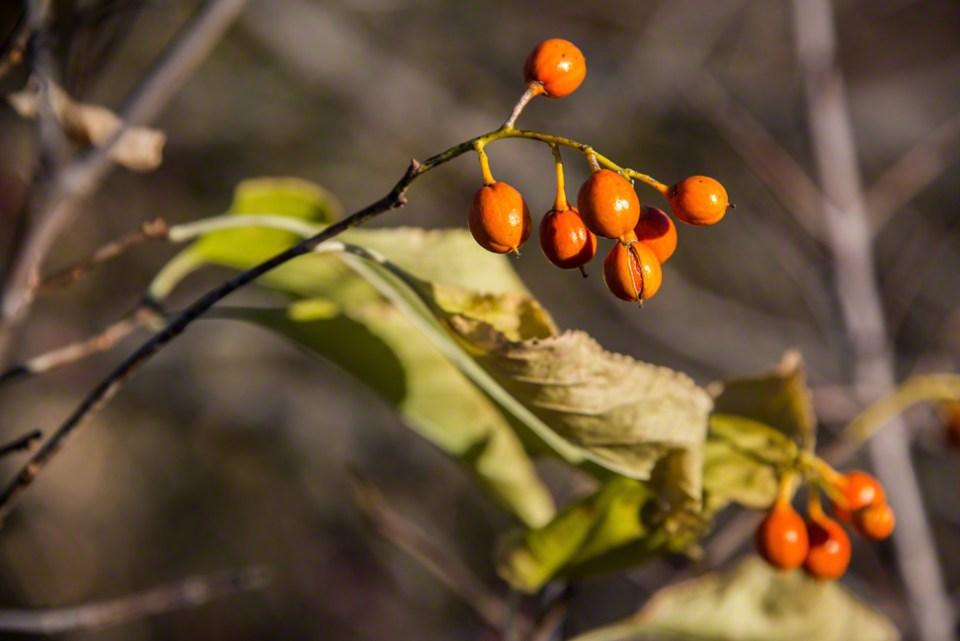Those Quizzical Orange Fruits Again