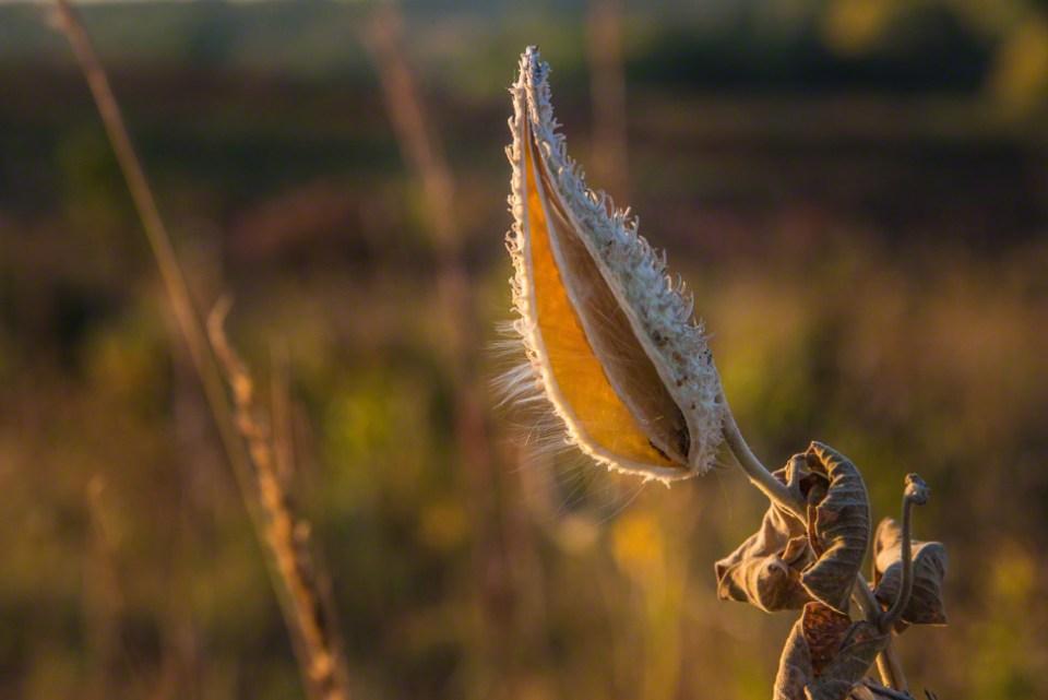 Translucent Milkweed Husk