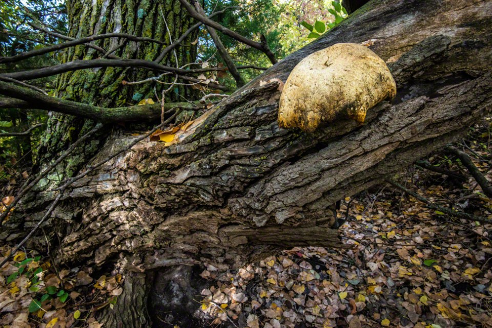 Umbrella Shaped Fungus on a Dying Cottonwood Trunk