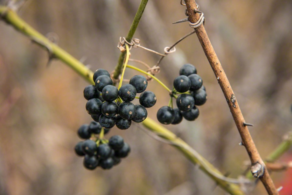Buckthorn Berries Along the East Fence Line CU
