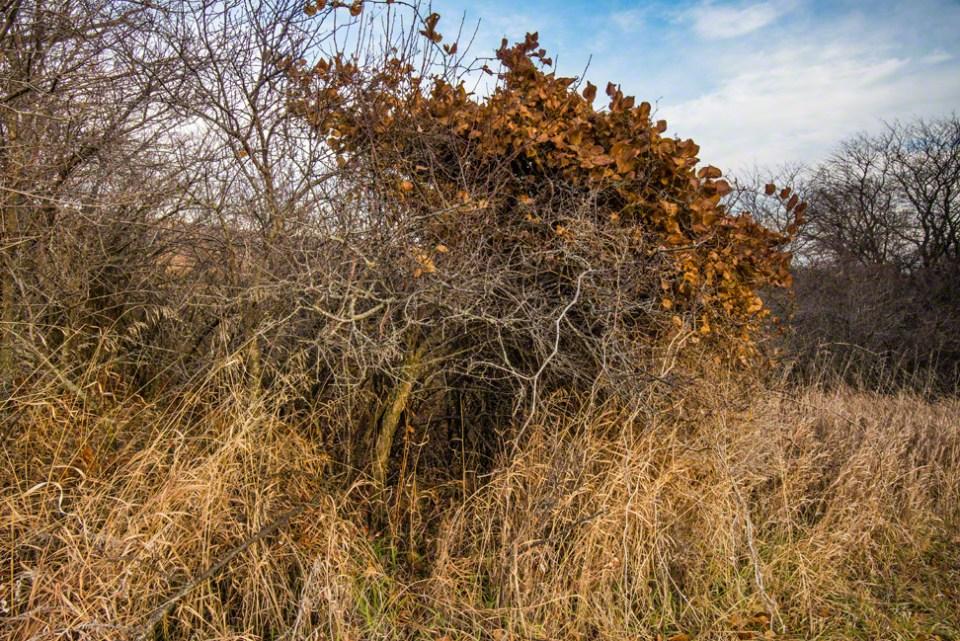 Viny Orange Leafed Plant - Buckthorn?