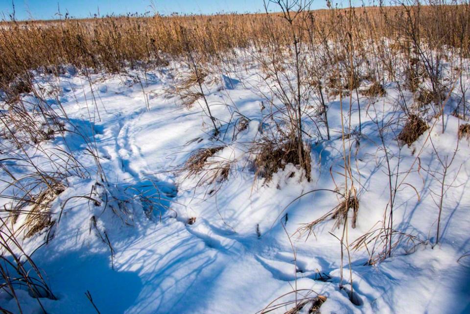 Deer Tracks Into the Prairie Snow