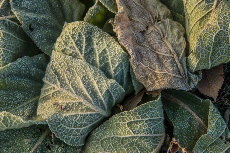 Mullein Leaves Frosted on the Ground