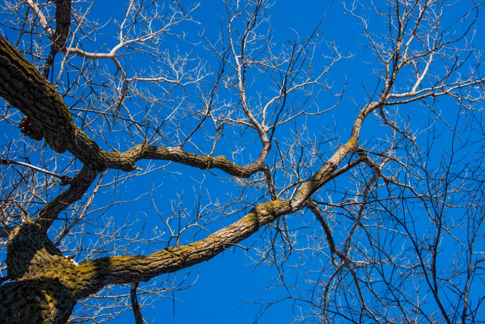 Naked Cottonwood Branches Against December's Blue
