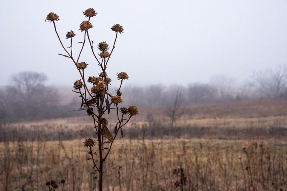 Foggy Morning 4 - Sunflower Heads