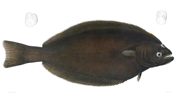 Meet the Pacific Halibut