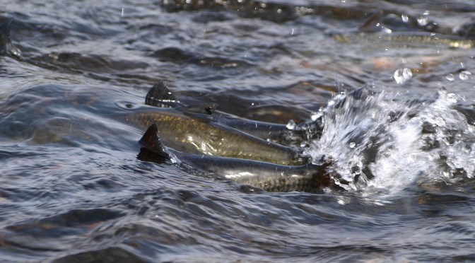 Alaska's Five Salmon Family Program