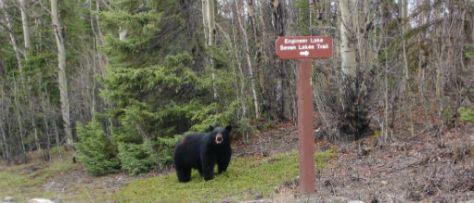 Black Bears in Kenai National Wildlife Refuge