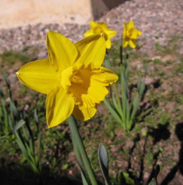 daffodil, påsklilja