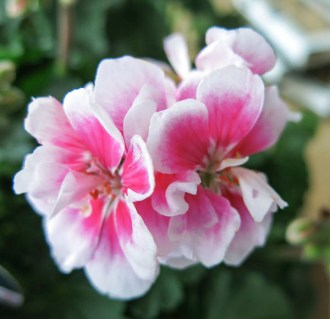 Pelargonia of the year