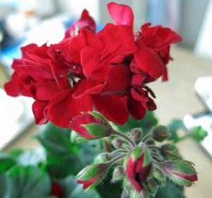 Last years pelargonia of the year (it is dark red)