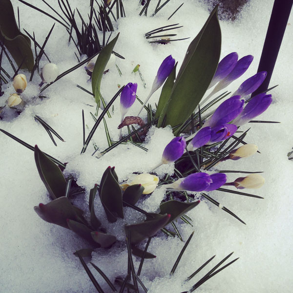 crocus, snow
