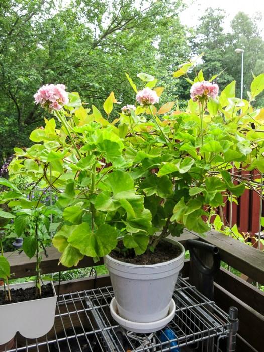 mårbacka pelargonia