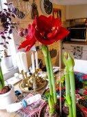 amaryllis copy 3