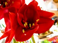 amaryllis_red_11