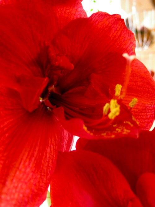 amaryllis_red_12