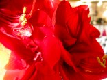amaryllis_red_23