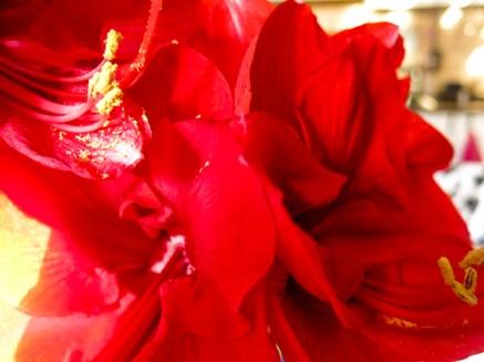 amaryllis_red_23