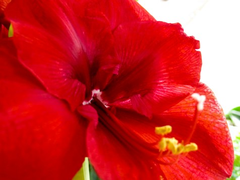 amaryllis_red_8