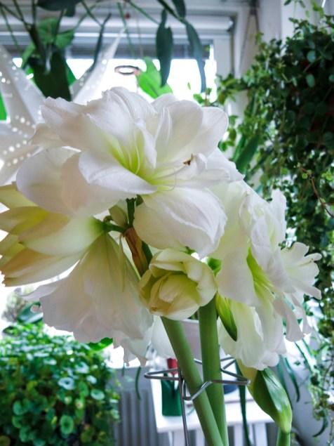 amaryllis_white_3