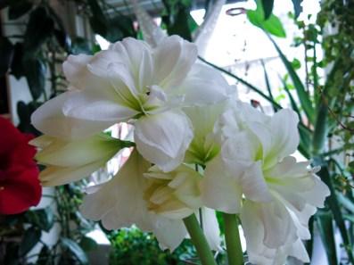 amaryllis_white_5