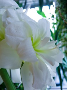 amaryllis_white_7