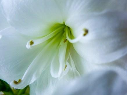 amaryllis_white_8
