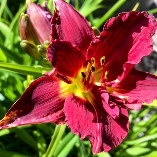 daylily, garden, greenery