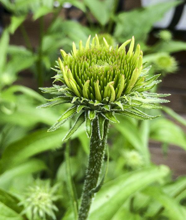 echinacea, garden, flowerbed, greenery