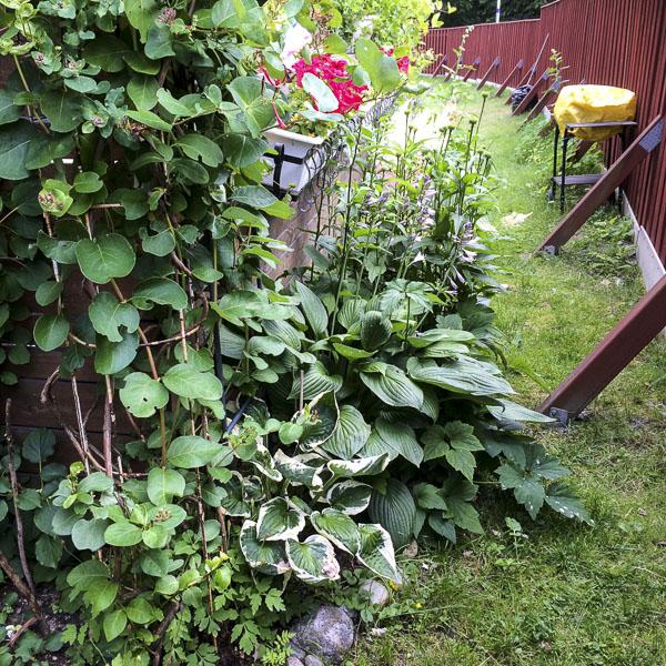 flowerbed, hostas, echinacea, garden, greenery
