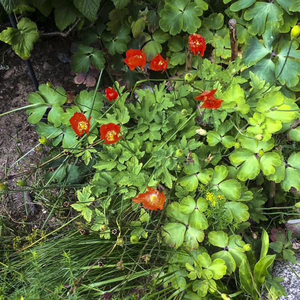 poppies, garden, greenery
