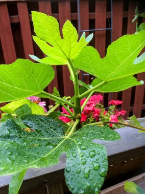 figtree_14aug2016_5