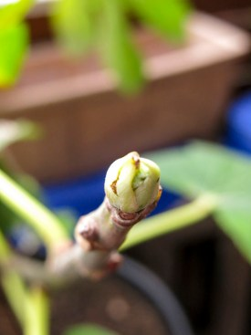 figtree_6aug2016_3